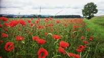 Poppies along the Donau, near Regensburg